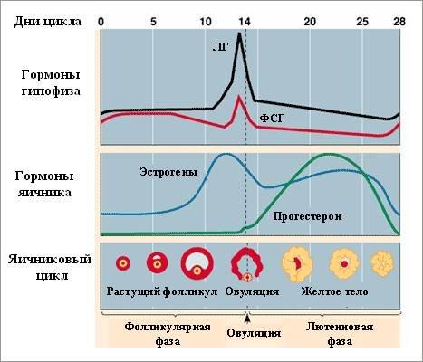 Как посчитать день овуляции если цикл не регулярный