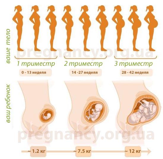Картинки плода на разных сроках беременности