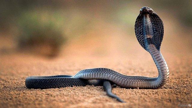 Кремы и мази на основе змеиного жира сделают кожу здоровее и вылечат суставную боль