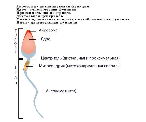 Метод электронной микроскопии в исследованиях сперматозоидов
